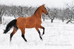 Akhal Teke in the snow Warmblood Horses, Cowboy Horse, Most Beautiful Horses, Akhal Teke, Bays, Living Legends, Cowboys, Equestrian, Art Ideas