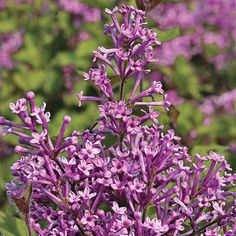 A prolific rebloomer, Bloomerang lilac makes a beautiful dwarf flowering shrub in every flowerbed.