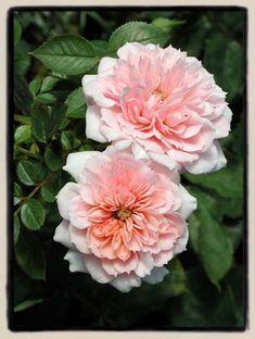 Baby Austin ~ Miniature Rose