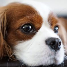 I'm ready for my close up! Cavalier King Charles Spaniel