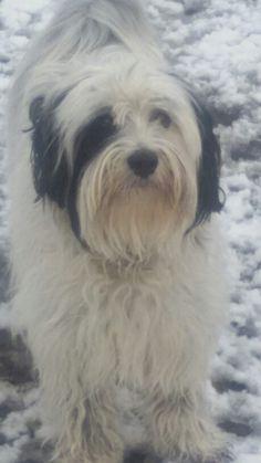 Schneemonster....Tibet Terrier