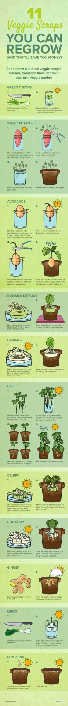 Don't throw out those veggie scraps! Turns out, you can transform them into your own mini veggie garden. Here's how: http://paleo.co/veggiescrapsregrow