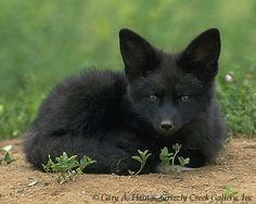 Black Fox | This is the only photographic example of a black fox I could find. The ...