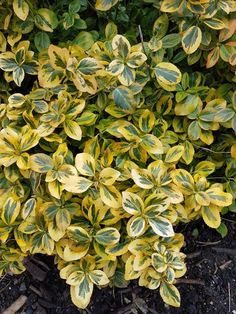 Euonymus fortunei 'Emerald 'n' Gold' Evergreen Shrubs, Small Trees, Growing Plants, Yard Landscaping, Emerald, Landscape, Flowers, Garden Ideas, Gold