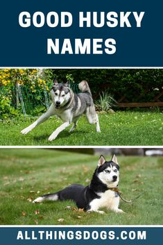 Finding a classic Husky name is quite easy. You can use their looks, features or even their personality to find some inspiration. To aid you in making that decision, we've put together a collection of good Husky names that you can choose from.  #goodhuskynames #huskynames #gooddogname