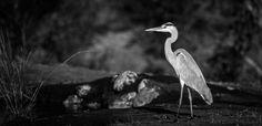 04Mike Palmer - Heron 280516 Visit SA: http://www.savisas.com/south-africa-visa/