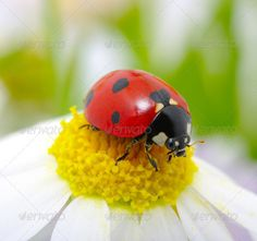 Realistic Graphic DOWNLOAD (.ai, .psd) :: http://hardcast.de/pinterest-itmid-1006684863i.html ... ladybug on a flower ... background, beautiful, beetle, black, blossom, blue, botany, bug, daisy, flower, garden, head, insect, ladybird, ladybug, macro, nature, petal, plant, red, small, spring, summer, tiny, white, yellow ... Realistic Photo Graphic Print Obejct Business Web Elements Illustration Design Templates ... DOWNLOAD :: http://hardcast.de/pinterest-itmid-1006684863i.html