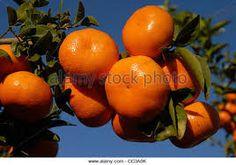 Image result for mandarin farming