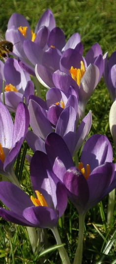 Crocus  Soon and very soon we will see this in our yards.  Just hang in there fellow Ohioians!