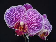 Bulbophyllum Nocturnum | ORQUIDEAS: Phalaenopsis híbrido