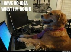 """Remember that funny picture of a beautiful golden retriever seated at a computer with the caption """"I have no idea what I& doing?"""" Her owner has come forward with more hilarious photos of her dog doing human things and being totally confused. Cute Dog Memes, Funny Dogs, Cute Dogs, Funny Animals, Cute Animals, Funny Memes, Funny Quotes, Animal Funnies, Funny Captions"""