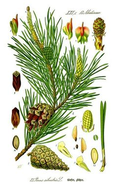 Pines are trees in the genus Pinus in the family Pinaceae. They make up the monotypic subfamily Pinoideae. There are about 115 species of pine, although different authorities accept between 105 and 125 species. Illustration Botanique, Tree Illustration, Botanical Illustration, Illustrations, Botanical Drawings, Botanical Prints, Impressions Botaniques, Pine Oil, Wild Edibles