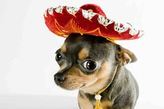 Canines with wide-brimmed Mexican hats