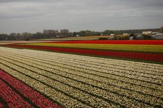 on the way ( #ridecolorfully ) to the world famous keukenhof gardens in the netherlands