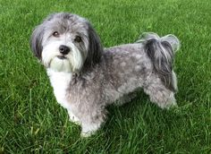 "Click visit site and Check out Best HAVANESE Shirts. This website is superb. Tip: You can search ""your last name"" or ""your favorite shirts"" at search bar on the top. #Abyssinian #Cat"