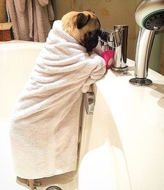Now how do I work this thing. Follow @pug_chanel - Tag #TheTomCoteShow your pug…