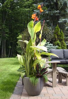 full sun container garden, canna lily in containers, Coffee in the vineyard, summer container garden, container garden