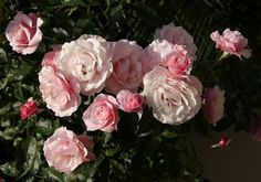 Our Lady of Guadalupe rose. Soft pink, so pretty! And this site has tutorials for growing roses of all kinds.