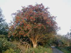 Rowan Tree ~~ In Celtic mythology the rowan is called the Traveller's Tree because it prevents those on a journey from getting lost.