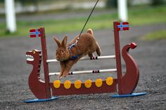 Kaninhopping also known as rabbit show jumping!