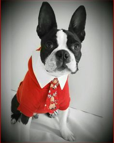 19 weeks old Please mommy let me be Santa's replacement... I can do the job I know it . Yes I can drive too do not worry about the reindeer. I am not a baby anymore! I can take care of myself!  #clf27 #flatnosedogsociety #bostonterrierlove #naturaldogcompany #bostonterrier_feature #bostonterriersoverload #mydogiscutest #bostonsofinstagram #squishyfacecrew #lacyandpaws #littlerocky #rocky #shortsnouts #BarkleyThePomSquad #btcult #bostonterrier #bostonpups #bostonterriers #bostonpuppy…