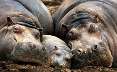Hippo nap