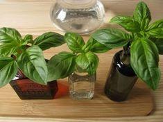 Egyetlen cserepes bazsalikomnövényből teljes tenyészetet hozhatsz létre, amely nemcsak a saját konyhád éves szükségletét fedezi, hanem még ajándékozásra is marad. Végigfotóztuk a szaporítás menetét, így mindent megleshetsz. Lush Green, Go Green, Green Garden, Garden Pots, Animals And Pets, Herbs, Vegetables, Flowers, Plants