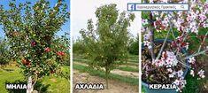 Δέντρα για μικρούς κήπους και αυλές : Μηλιά, Αχλαδιά, Κερασιά