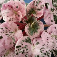 AFRICAN VIOLET LEAVES BUCKEYE CANDY KISSES~STUNNING VARIEGATION AND BLOOM