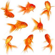 mooiste goud vissen met sluierstaart - Google zoeken