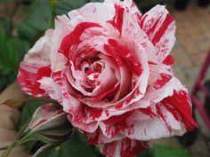 Rosa Scentimental