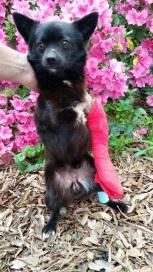 Meet Olaf, a Petfinder adoptable Chihuahua Dog | Raleigh, NC | Olaf~ On Medical Hold ~Breed: Schipperke/Chihuahua mixGender: MaleDOB:   2 years oldWeight:    9...