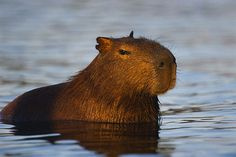 Capybara in Pantanal of Mato Grosso - Brazil