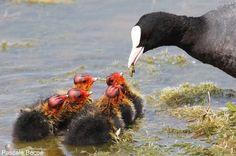 Une Guifette moustac nourrissant deux poussins de Foulques macroules   Photo de Pascale Bécue : Foulque macroule (Fulica atra) nourrissant ses petits. #ornithologie   #oiseaux   #nature   #birds