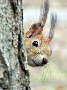 There are lots of squirrel like mammals like the ground hog, gopher as well as prairie dog. When it comes to foods, what do squirrel love to eat? Animals And Pets, Baby Animals, Funny Animals, Cute Animals, Wild Animals, Photo Animaliere, Cute Squirrel, Squirrels, Little Critter