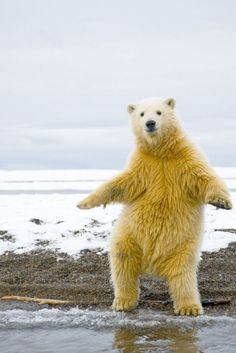You'll never guess what wildlife photographer Steven Kazlowski stumbled across during a recent trip to the Arctic Circle. A disco-dancing polar bear cub! Animals And Pets, Baby Animals, Funny Animals, Cute Animals, Wild Animals Pictures, Animal Pictures, Pictures Of Polar Bears, Beautiful Creatures, Animals Beautiful