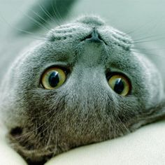 Gatos Azul da Rússia