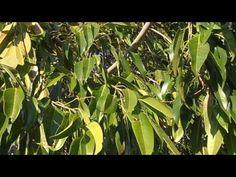Ficus de hoja estrecha: Ficus binnendykii (www.riomoros.com)