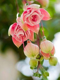 Flowers Garden Love fuchsia