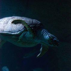 #tortuga #tortugamarina #zooaquiariumadrid #aquarium #nikon📷 #nikonfotografie (en Zoo Aquarium de Madrid)