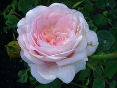 Rosa 'Ghita Renaissance' (klimroos)