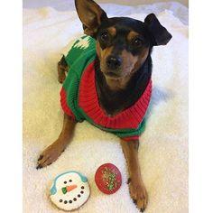 I get 2 treats!? I love Christmas ❤️ #thedogbakery  Photo by @mini_the_miniature_pinscher