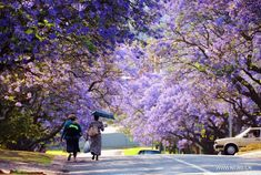 People walk under the jacaranda trees in Pretoria, South Africa, Oct. 16, 2013