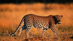 23 Strongest Animal Bites In The World Leopard Wallpaper, Animal Wallpaper, Iphone Wallpaper, Leopard Cub, Leopard Animal, Beautiful Creatures, Animals Beautiful, Cheetah Background, Be The Creature