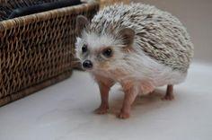Baby Baloo (hedgehog)