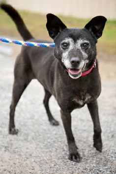 No Longer Listed FLORIDA Sweet Daphne. Her previous owner is ill, so Alaqua took her in. She LOVES to run and play, and has the energy of a much younger dog.! She would make an awesome best friend for someone! Daphne is a sweet old girl who loves to chase tennis balls, then...
