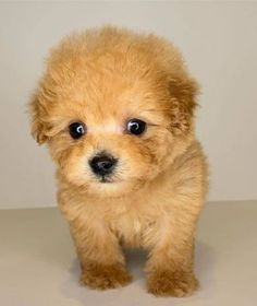 leo Poodle Puppy Miniature, Red Poodle Puppy, Teddy Bear Poodle, Teacup Poodle Puppies, Poodle Puppies For Sale, Toy Puppies, Cute Little Puppies, Cute Puppies, Cute Dogs