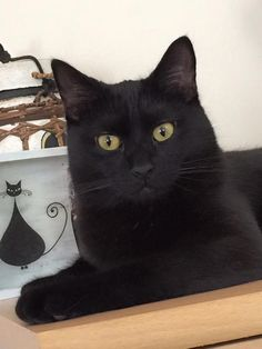 Black Cat with golden eyes - so beautiful - black cats are no different than any other color - it is only pigmentation - they have all brought me good luck and I was so blessed to have them... ;-)