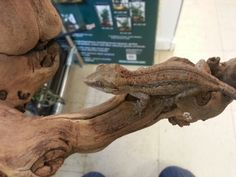 Beautiful striped Gargoyle Gecko
