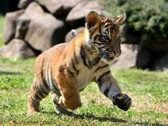 Animal Pictures: 150 Of The Cutest Animals! Cute animal pictures: 100 of the cutest animals!Cute animal pictures: 100 of the cutest animals! Big Cats, Cats And Kittens, Cute Cats, Beautiful Cats, Animals Beautiful, Majestic Animals, Cute Baby Animals, Funny Animals, Funny Cats
